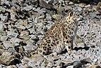 Panthera uncia - Zoo Karlsruhe.jpg