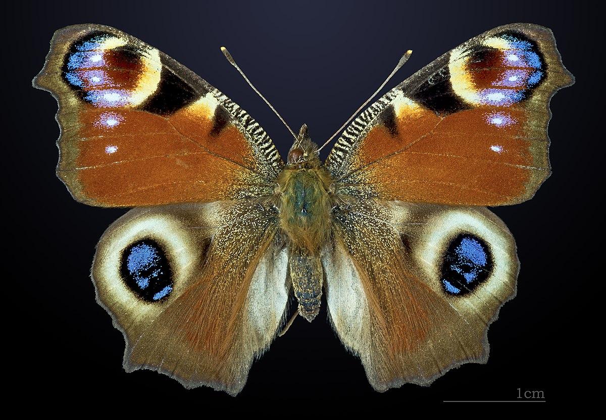 Paon du jour wikip dia - Duree de vie papillon de nuit ...