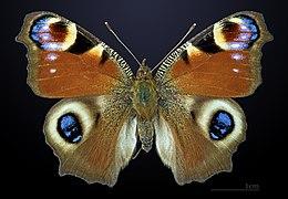 Альбом пользователя ЕкатеринаКостинская: Бабочка Дневной павлиний глаз. Коллекция 36 бабочек-малявок