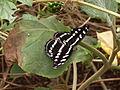 Papilio Stratford 01.JPG