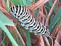 Papilio machaon (Old World Swallowtail) caterpillar, Arnhem, the Netherlands.jpg