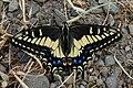 Papilio zelicaon-Female-1.jpg