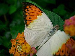 PapillonBlancOrange.jpg