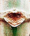 Pappaya plant's fallen leaf scar.jpg