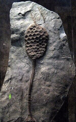 Paracrinoidea - Comarocystites punctatus