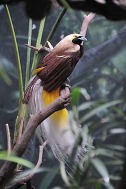 Paradisaea minor (male) -Bronx Zoo-6.jpg