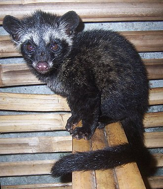 Asian palm civet - Asian palm civet juvenile