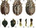 Paralibiocoris roundangulus (10.3897-zookeys.789.26165) Figures 31–38.jpg