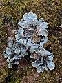 Parmelia sulcata 108893584.jpg
