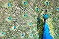 Peacock (11999738).jpg
