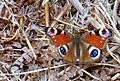 Peacock Butterfly on Puddletown Heath - geograph.org.uk - 786616.jpg