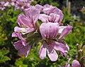 Pelargonium-attarofroses.jpg