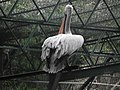 Pelican from Bannerghatta National Park 8580.JPG