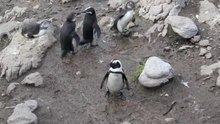 Dosiero:Penguin Colony Betty's Bay.ogv
