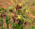 Pentarrhinum insipidum, loof en blomme, b, Groenkloof NR.jpg
