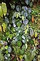 Peperomia choroniana (Piperaceae) (30139444741).jpg