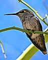 Perched Hummingbird (Female) (8657053692).jpg