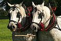 Percherons attelés mondial du cheval percheron 2011Cl J Weber18 (23787783180).jpg