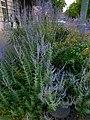 Perovskia atriplicifolia Kreuzberg 2.jpg