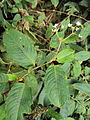 Persicaria chinensis.JPG