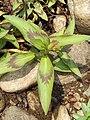 Persicaria odorata leaves.jpg