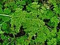 Petroselinum crispum 002.JPG
