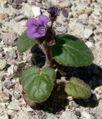 Phacelia calthifolia 2.jpg