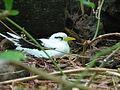 Phaethon lepturus -Cousin Island, Seychelles -nest-8.jpg