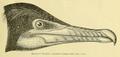 Phalacrocorax auritus 1891.png