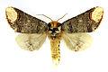 Phalera bucephala SLU.JPG