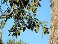 Philenoptera violacea Kruger-NP leaves.jpg
