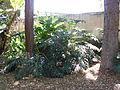 Philodendron bipinnatifidum Schott ex Endlicher - 2013 001.JPG