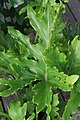 Philodendron selloum Hope 0zz.jpg