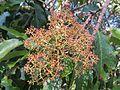 Photinia integrifolia at Mannavan Shola, Anamudi Shola National Park, Kerala (2).jpg