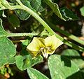 Physalis hederifolia var palmeri 2.jpg