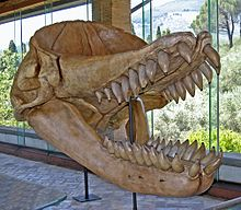 A skull of an extinct sperm whale, with large smooth conical teeth, and a depression on the top front of the skull. The jaw is open.