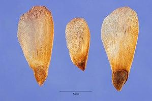 Picea glauca - Seeds
