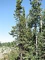 Picea mariana (Black Spruce) (3899151744).jpg