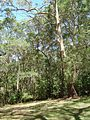 Picnic area The Knoll Tamborine Mountain.JPG