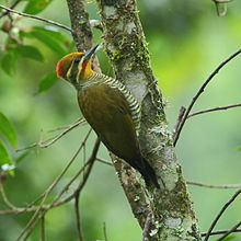 Piculus aurulentus Yellow-browed Woodpecker.jpg