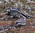 Pied wagtails courting.jpg