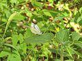 Pieris canidia canis Evans, 1912 – Sahyadri Cabbage White at Mannavan Shola, Anamudi Shola National Park, Kerala (14).jpg