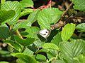 Pieris canidia canis Evans, 1912 – Sahyadri Cabbage White at Mannavan Shola, Anamudi Shola National Park, Kerala (3).jpg