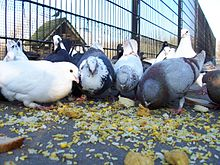 Pigeons eating rice.jpg