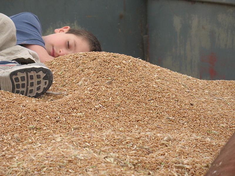 ילד ישן במכולת חיטה בזמן הקציר