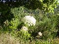 PikiWiki Israel 5357 dactus carota.jpg