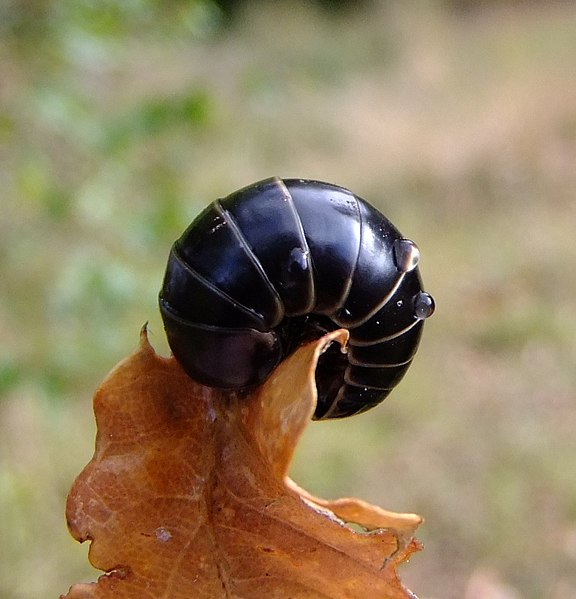 File:Pill millipede (Glomeris marginata), Sandy, Bedfordshire (8083081415).jpg
