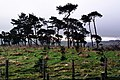 Pines above Downes's Dingle - geograph.org.uk - 322031.jpg