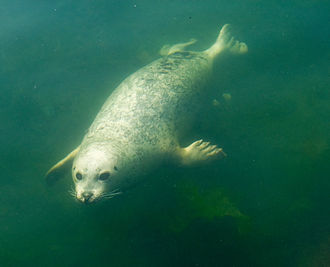 Harbor seal - Harbor seal swimming