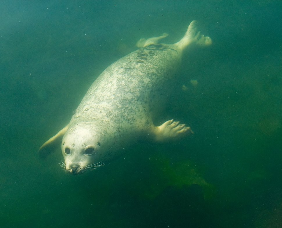 Pinniped underwater
